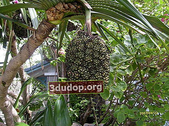 Atap pandan dan buahnya