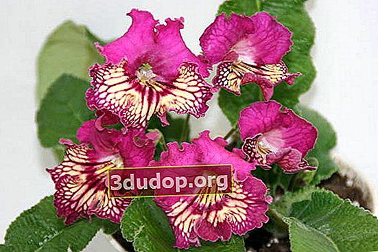 Streptocarpus: puțină atenție - și vă aflați printre flori