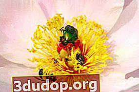 Aroma peony: seratus mawar dalam satu bunga