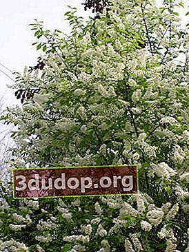 Fågelkörsbär