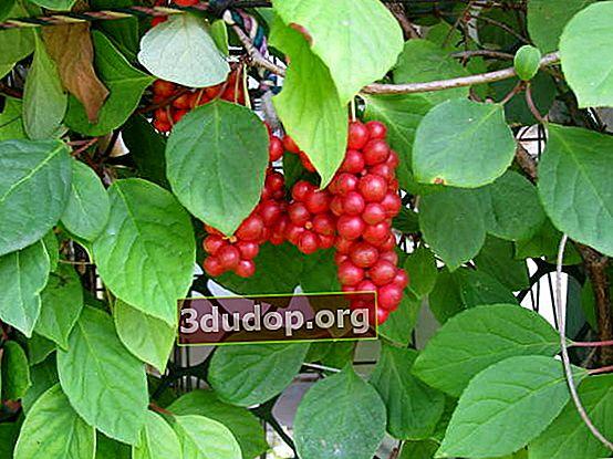Schisandra chinensis - boabele vitalității