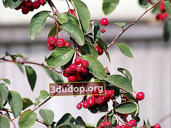 Cotoneaster: budidaya dan reproduksi, pembentukan pagar tanaman