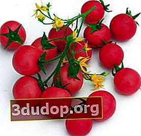Varietas dan hibrida tomat terbaik