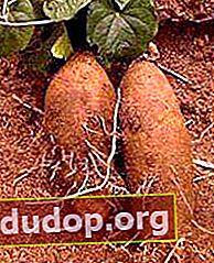 "Dioscorea - tanaman anggur ""steroid"""