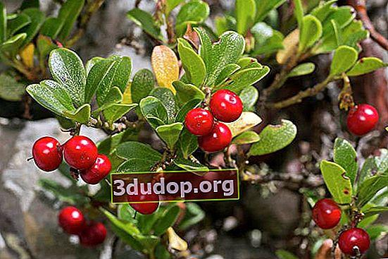 Bearberry biasa: khasiat obat