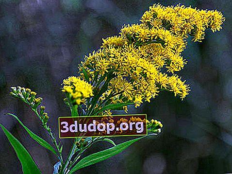Goldenrod: proprietăți și utilizări medicinale