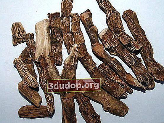 Utilizarea calamusului în medicina oficială și tradițională