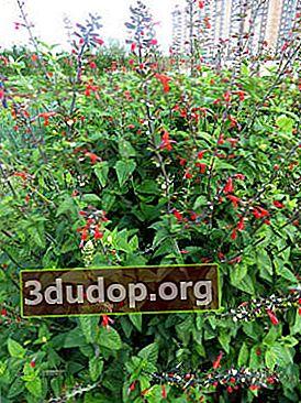 Salvia merah terang: varietas, tumbuh dari biji