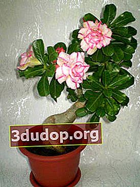 Adenium: tumbuh dan mencangkok