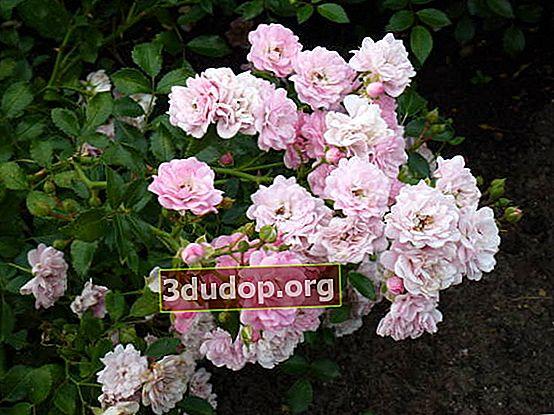 Propagarea trandafirilor prin butași