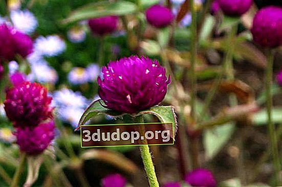 Gomfrena - bunga kering yang sempurna