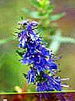 Hyssop officinalis: cultivare și utilizare