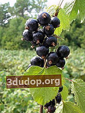 Coacăze negre: cele mai noi soiuri din Michurinsk