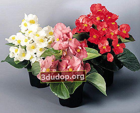 Begonia mereu înflorită: cultivare în interior