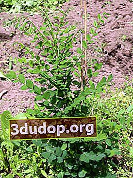 Japoneză Sophora: proprietăți medicinale