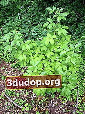Copaci și arbuști rare în grădina noastră
