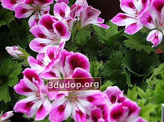 Pelargonium: creștere, îngrijire, reproducere