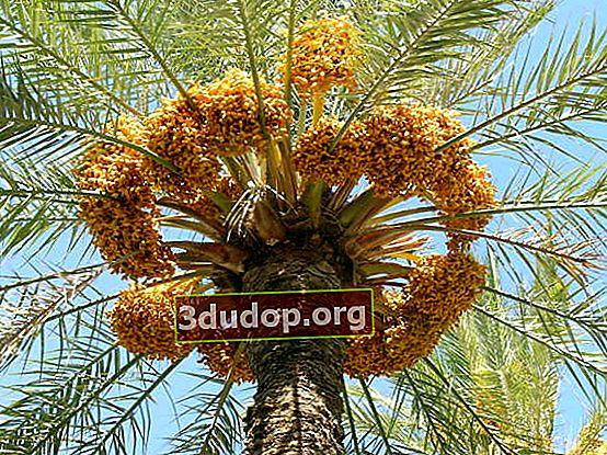 Tanggal: pohon palem