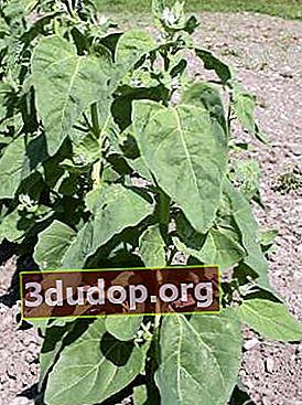 Quinoa în grădină - pentru gută, pentru borș