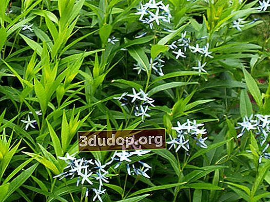 Amsonia willow - étoile bleue d'Amérique du Nord