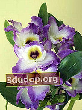 Dendrobium noble: îngrijire în interior
