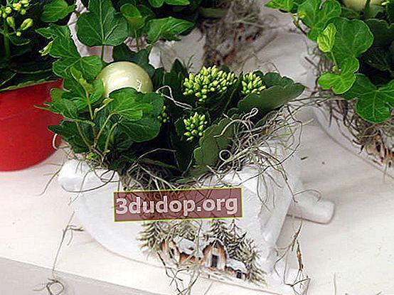 Plante pentru Anul Nou și Crăciun