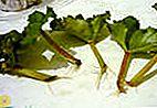 Enracinement des bégonias avec des boutures feuillues
