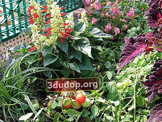 Cultivarea roșiilor pe balcon