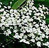 Menyembuhkan madu dari bunga elderberry hitam