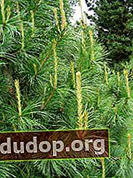 Cedru: probleme de transplant al copacilor mari, boli și dăunători