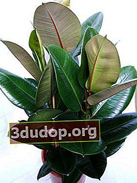 Ficus cauciucat - ficat lung interior
