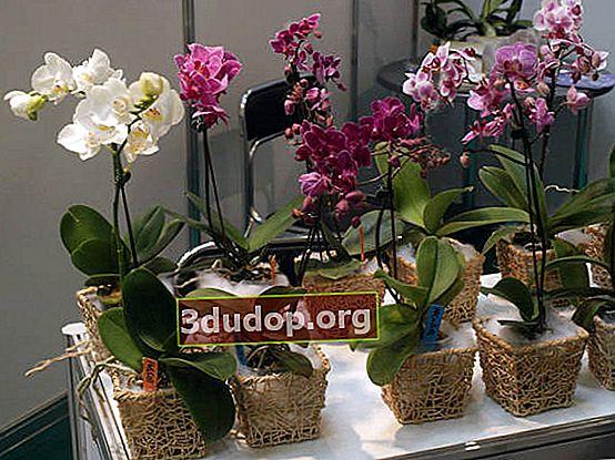 Cum să ai grijă de orhideea phalaenopsis