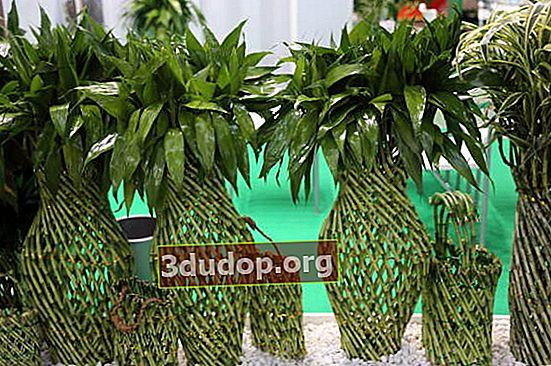 Bambu yang membawa keberuntungan dan kebahagiaan