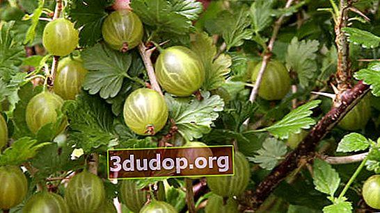 Anggur gooseberry