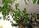 Vous pouvez propager la griotte avec des boutures de feuilles.
