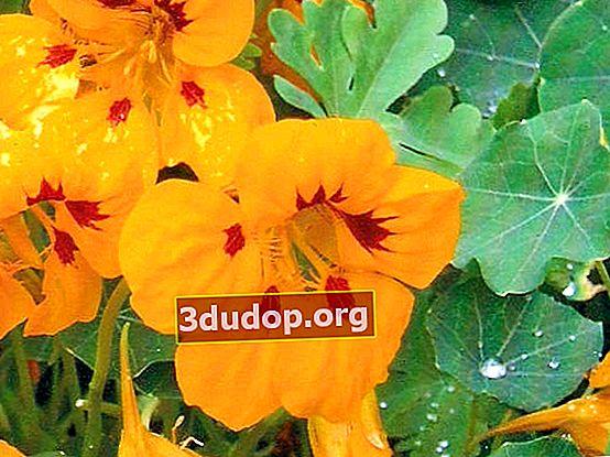 Nasturtium ca cultură medicinală și de turtă dulce