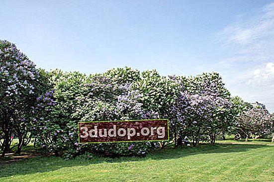 """""""Lilac Garden"""" di Moscow: penilaian keadaan dan pematuhan varietas"""