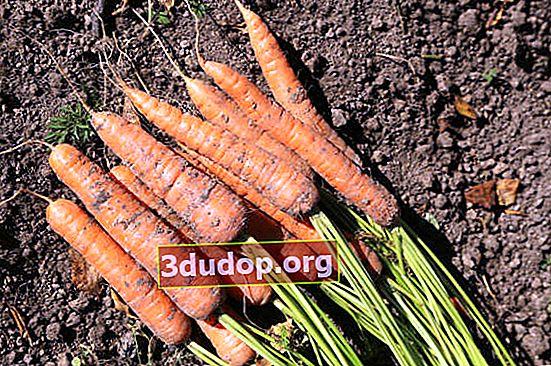 Secretele recoltării corecte a morcovilor