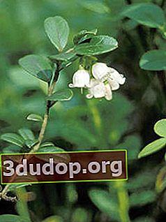Lingonberry: proprietăți și utilizări utile