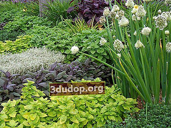 Plante medicinale pentru grădini mici, balcoane și terase